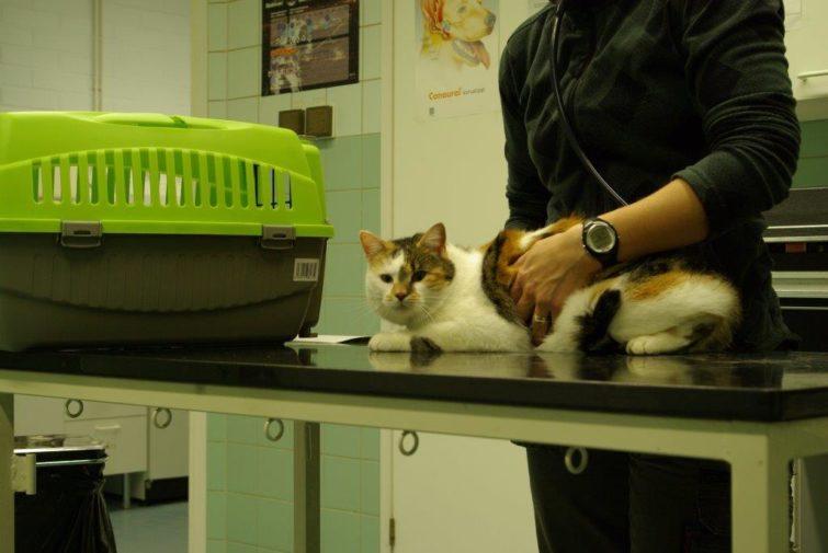 Eläinlääkäri tutkimassa kissaa
