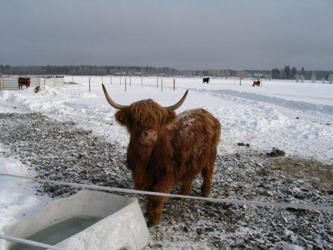 Ylämaan karjaa talvilaitumella
