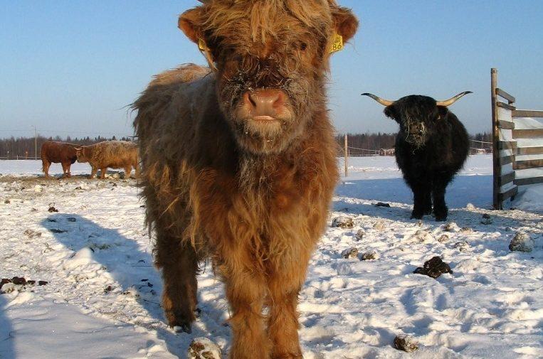 Kippola Toni, Rautalan tilan Ylämaan karjaa Parhalahdelta